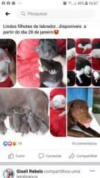 Vendo lindos filhotes de labrador disponível 28 janeiro
