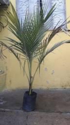 Coqueiro anão de 1 metro e 45