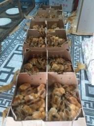 Pintos de galinhas poedeiras-Embrapa 051