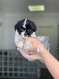 Lhasa Apso Filhotes lindos e saudáveis e consulta veterinária gratuita 11.9109.11758