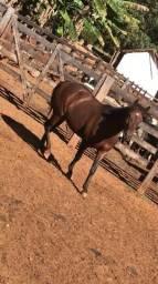 Égua meio sangue QM