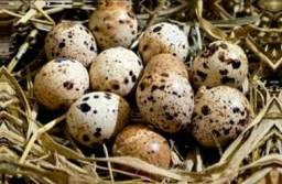 Ovos de codornao gigante