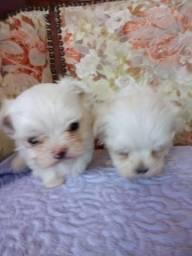 Micro maltês perfeitos filhotes miniaturas com garantia Zap 99257-0574