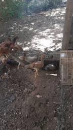 Vendo os frangos caipiras