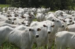 Compro terra para pecuária em Fortuna_MA