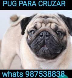 Pug procurando namorada