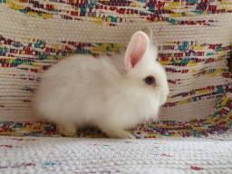 Mini coelho minilion