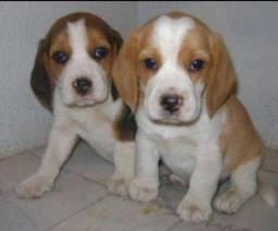 Filhotes de Beagle lindos