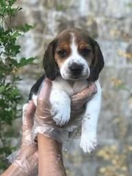 Beagle lindos e saudáveis