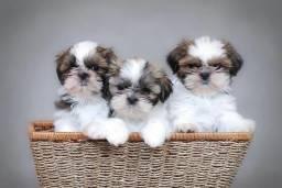 Shihtzu Macho - Pets companheiros