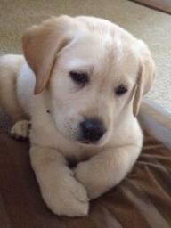 Venha garantir o seu filhote de Labrador