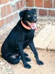 Doação de cachorro labrador