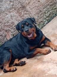 Rottweiler dois filhotes machos disponível em Uberaba