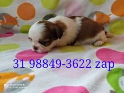 Canil Filhotes Cães Líder Pet BH Lhasa Yorkshire Basset Shihtzu Beagle Poodle