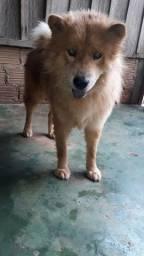 Cachorro macho Chow Chow lindo  aproveite a promoção