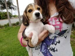 Linda filhote de Beagle, pura, ótima linhagem! Pronta para entrega!