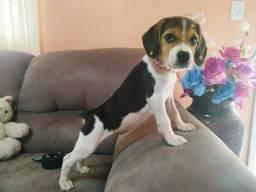 Você sempre quis Beagle? Agora é a hora! Promoção de Beagle fêmea!