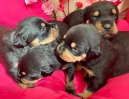 Vende-se filhotes de Rottweiler