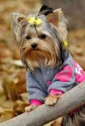 Yorkshire Terrier portes miniaturas