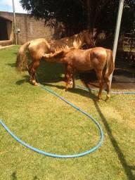 Vendo égua parida apenas 5 meses filho de cavalo quarto de milha registrado