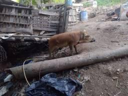 Porco e leitão e porca