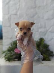 É muito amor envolvido !!! Filhotes de Chihuahua disponivel para retirada hoje