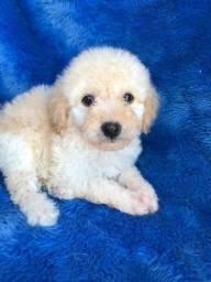 Poodle toy com pedigree e microchip ate 18x