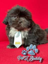 Pets Domésticos - Shihtzu Macho