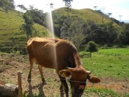 Vacas Jersey vendo