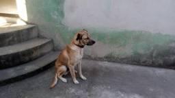Cachorro Macho filho de Labrador com raça desconhecida.(Doação)