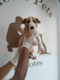 Bull Terrier Disponível Pronta Entrega!!!!