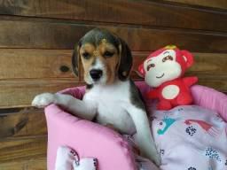 Amáveis filhotes de Beagle, Nascidas dia 20/09/2019!