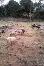 Porcos