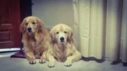 Filhotes Goldens Retrievers