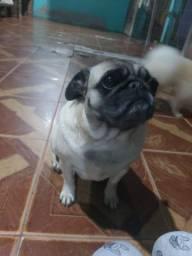Linda fêmea Pug saudável com 2 anos