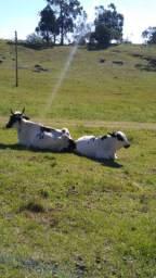 Vaca 2 cria cm uma linda novilha barbada