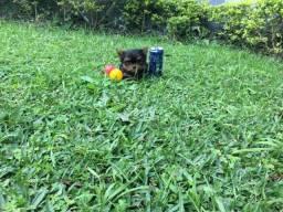 Macho de york mini, em 6x, adestrado no jornal