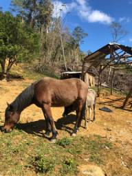 Cavalo manso para montaria