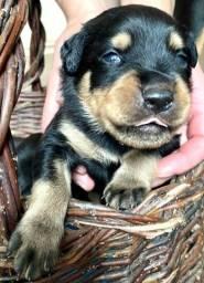 Vende-se lindos filhotes de Rottweiler com 43 dias