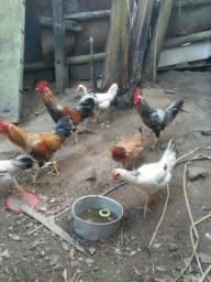 Vendo galinhas e pintinho caipira e 3 galos
