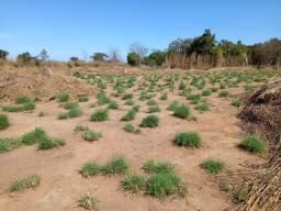 Vendo semente Andropogon para pasto