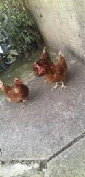 Vendi 3 galinhas botadeira