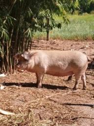 Porcos de Mangueirão