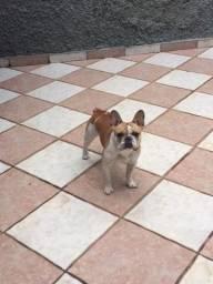 Bulldog Francês (com pedigree cbkc), procura namorada