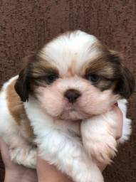 Shih tzu macho chocolate a pronta entrega