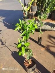 Mudas frutíferas já produzindo