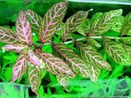 hygrophila polisperma rosanervis