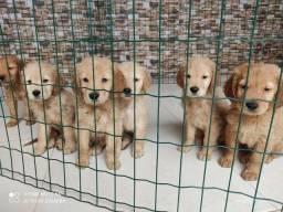 Golden Retriever filhotes disponíveis para entrega hoje