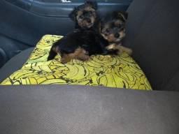 Yorkshire Terrier Filhotes de yorkshire