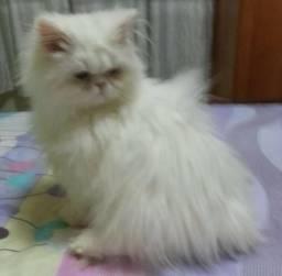 Lindíssimo filhote de gato persa puro legítimo.Entrego em Curitiba e região metropolitana